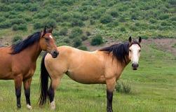 二匹马 免版税图库摄影