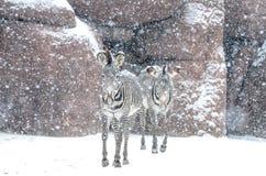 在飞雪的二匹斑马 免版税图库摄影