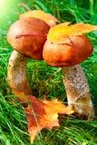 二卷白杨木蘑菇 库存照片