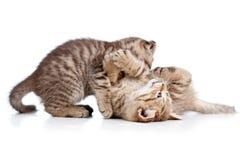 二只一起滑稽的猫小猫作用 库存图片