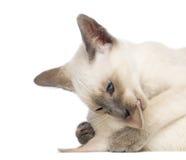 二只东方Shorthair小猫, 9个星期年纪 免版税图库摄影