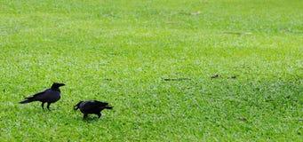 二只乌鸦。 库存图片