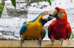 二只五颜六色的金刚鹦鹉 库存照片