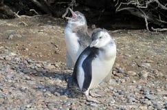 二只企鹅 免版税库存照片