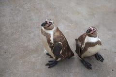 二只企鹅 库存图片