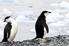 二只企鹅- chinstrap - Pygoscelis南极洲 免版税库存图片