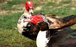 二只俄国鸭子 库存照片