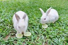 二只兔子吃着黄瓜。 库存照片