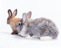 二只兔子 免版税图库摄影