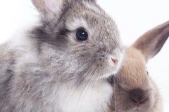二只兔子 免版税库存图片