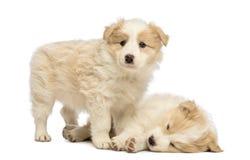 二只博德牧羊犬小狗, 6个星期年纪,一个是说谎,并且睡觉和其他站立并且看 图库摄影
