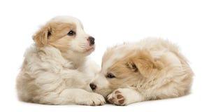 二只博德牧羊犬小狗, 6个星期年纪,说谎 免版税图库摄影