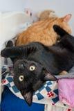 二只可爱猫使用 免版税库存照片