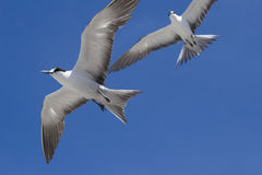 二只在飞行中煤烟灰燕鸥阿森松岛 库存图片