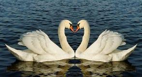 二只天鹅。 免版税图库摄影