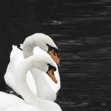 二只天鹅 免版税库存图片