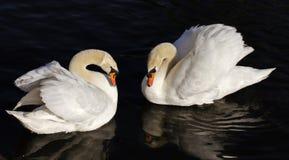 二只天鹅 免版税库存照片