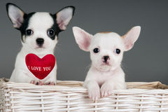 二只奇瓦瓦狗小狗。 图库摄影