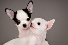 二只奇瓦瓦狗小狗。 免版税库存图片