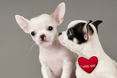 二只奇瓦瓦狗小狗。 免版税图库摄影