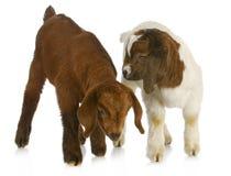 二只小山羊 免版税库存图片