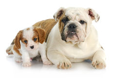 二只小狗 库存照片