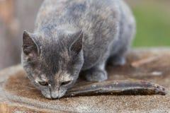 二只小猫吃鱼。 免版税库存照片