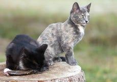 二只小猫吃鱼。 图库摄影