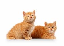 二只小的红色英国小猫 免版税库存照片