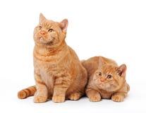 二只小的红色英国小猫 库存图片