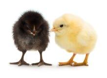 二只小的鸡 库存照片