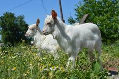 二只山羊 小的山羊 春黄菊 晴朗的日 本质和动物 图库摄影