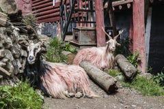二只山羊 免版税库存图片