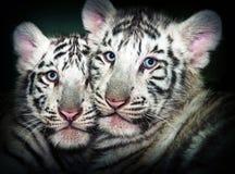 二幼小白色老虎 免版税库存图片