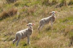 二只幼小羊羔 图库摄影