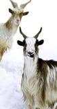 二只有角的山羊 免版税库存图片
