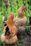 二只母鸡 库存照片
