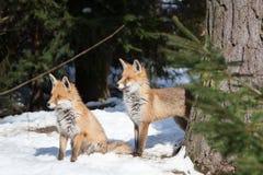 二只狐狸在冬天 免版税图库摄影
