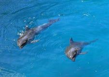 二只海豚 免版税库存图片