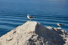 二只海鸥 免版税库存照片