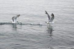 二只海鸥 库存图片