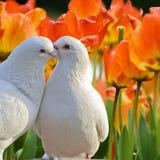 二只爱的空白鸠和美好的tul 免版税库存照片