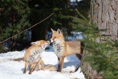 在爱的狐狸 免版税库存照片