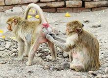 二只猴子休息 免版税库存照片