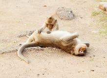 二只猴子休息 免版税图库摄影