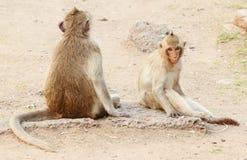 二只猴子休息 库存图片