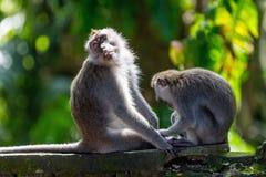 二只猴子在巴厘岛Ubud森林里 图库摄影