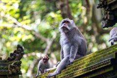 二只猴子在巴厘岛Ubud森林里 库存照片