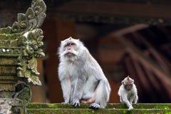 二只猴子在巴厘岛Ubud森林里 免版税库存照片