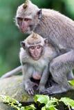 二只猴子在巴厘岛Ubud森林里 免版税库存图片